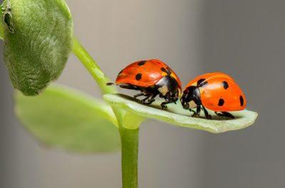 pair of ladybugs
